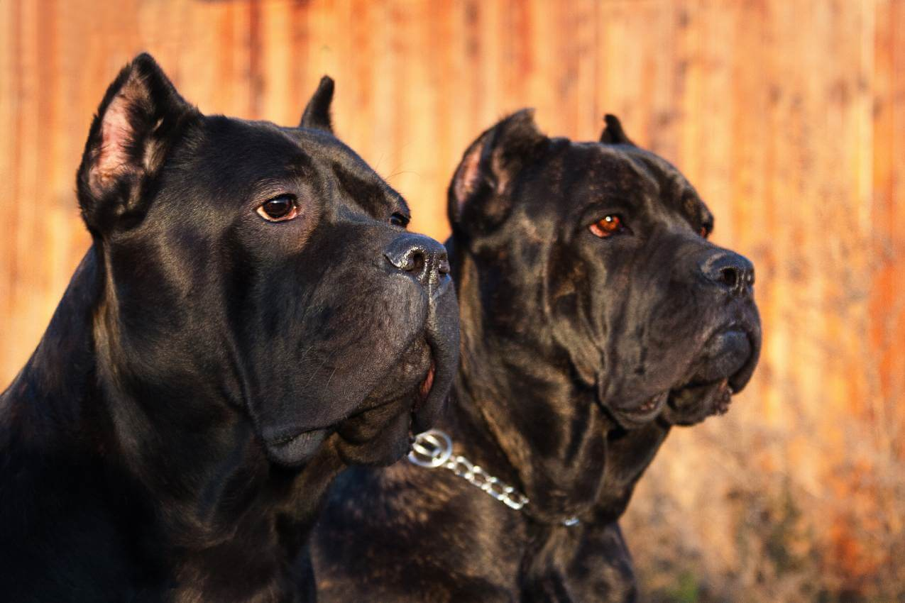 Are Cane Corso Dogs Vicious Every Creature Counts Main