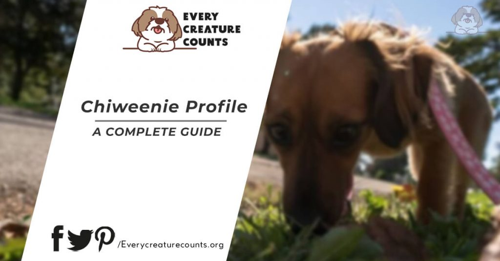 chiweenie Top Health Issues