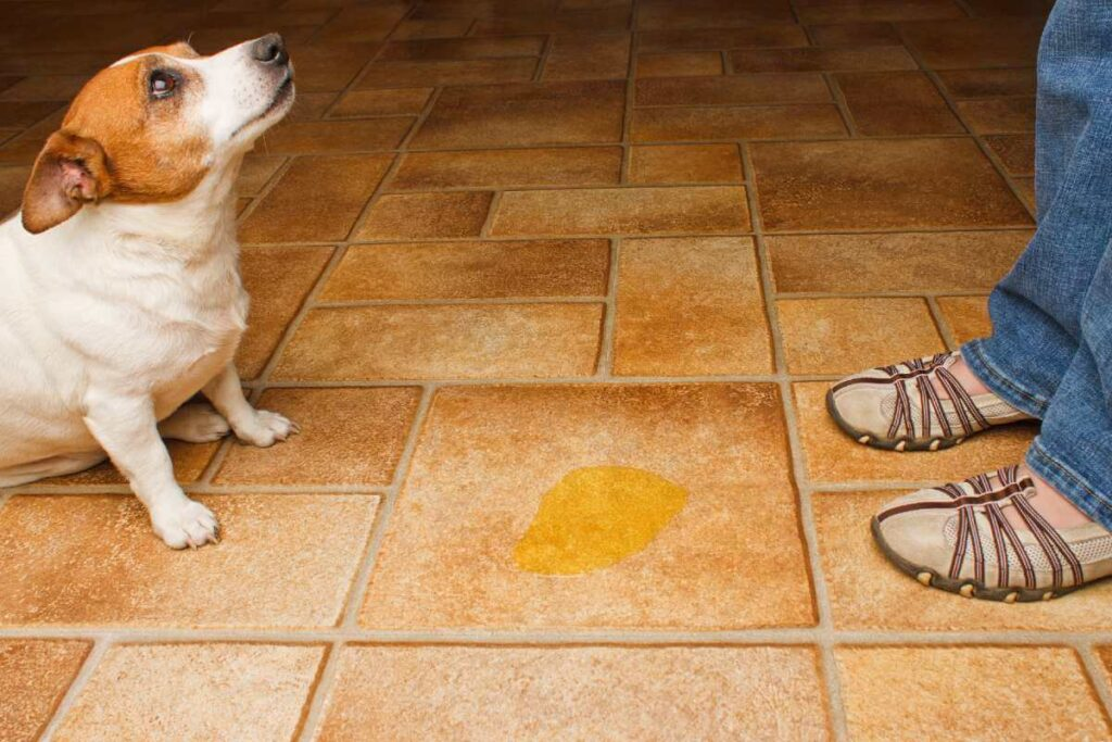 How to Manage Senior Dogs Peeing in the House