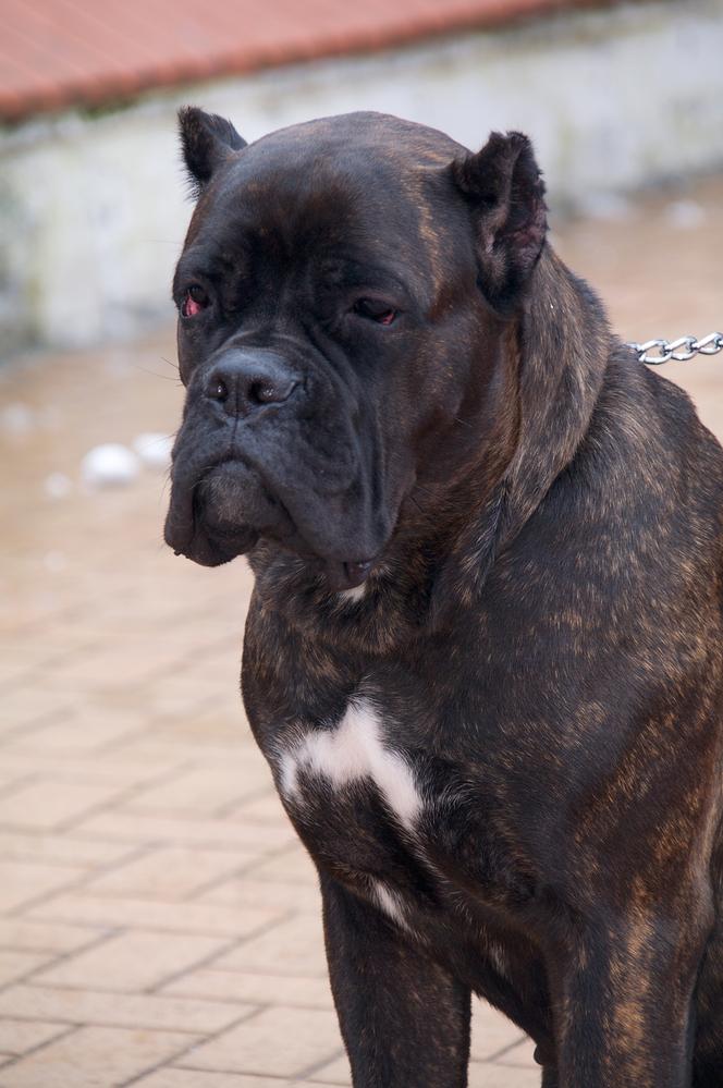 Boala articulară la câinii bullmastiff