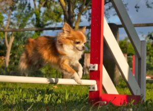 Benefits of Agility Training For Your Dog