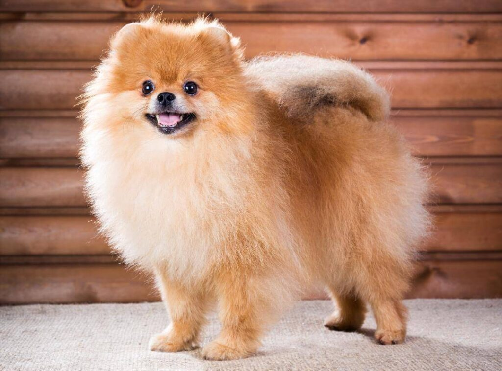 Best Guide to Owning a Pomeranian