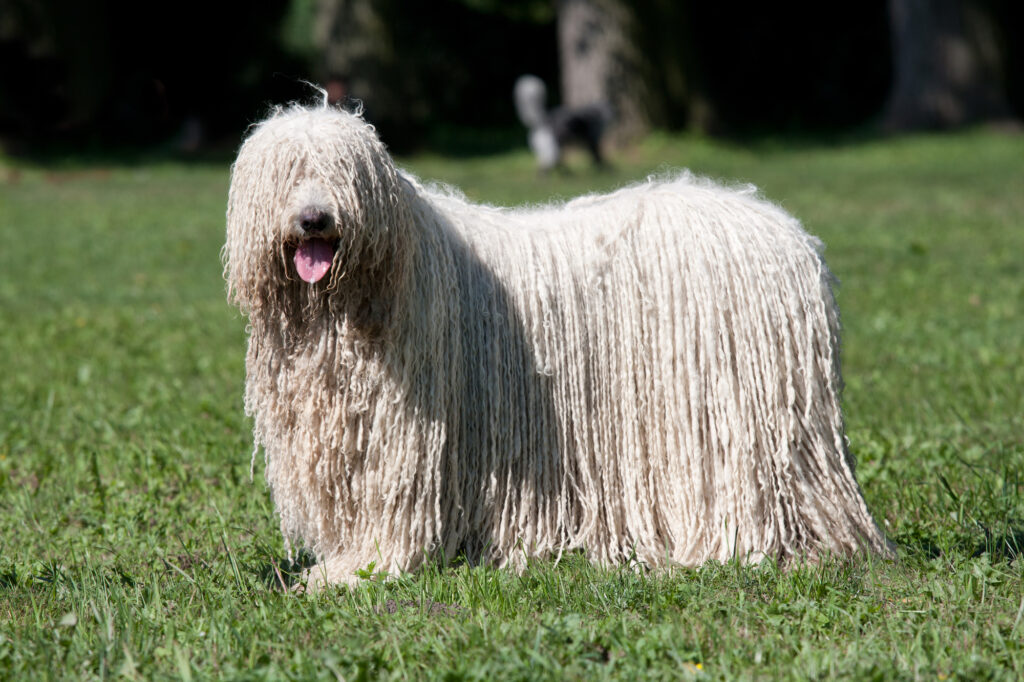 How Funny Looking is a Komondor