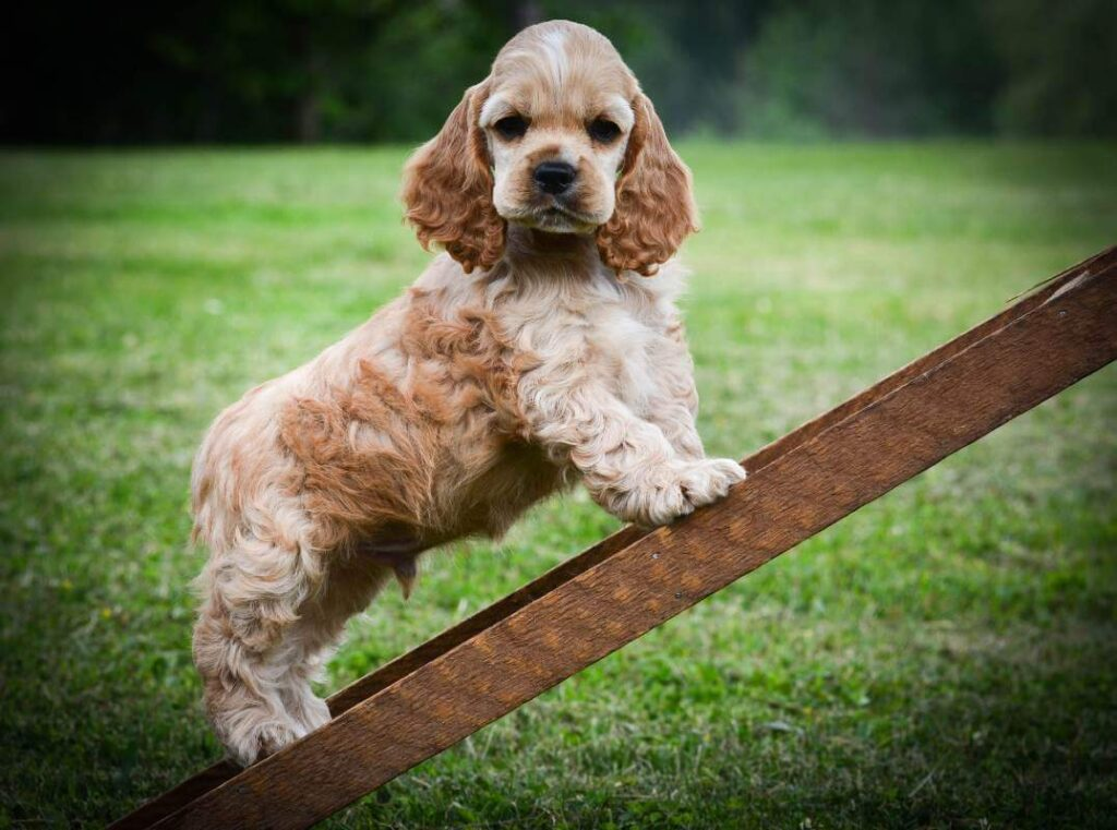 How To Train Your Small Dog To Use A Doggy Ramp