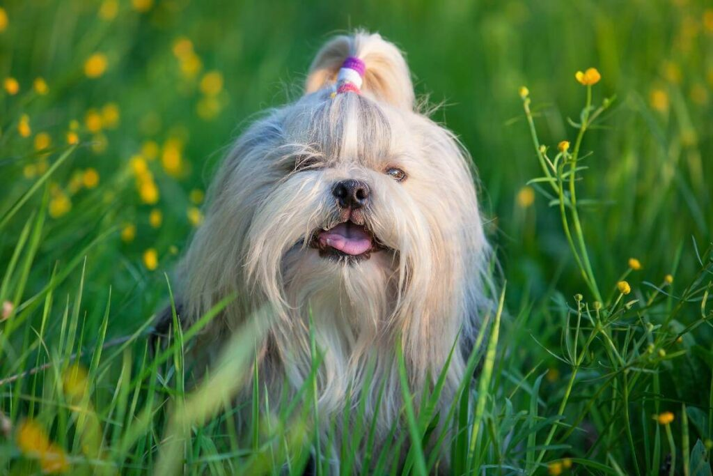 Shih Tzu Dogs and Their Royal History