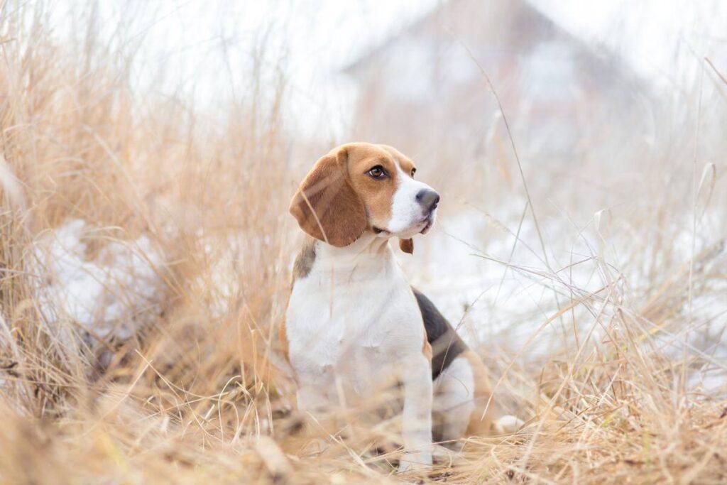 The Ever Popular Beagle