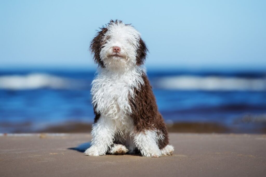 The Spanish Water Dog