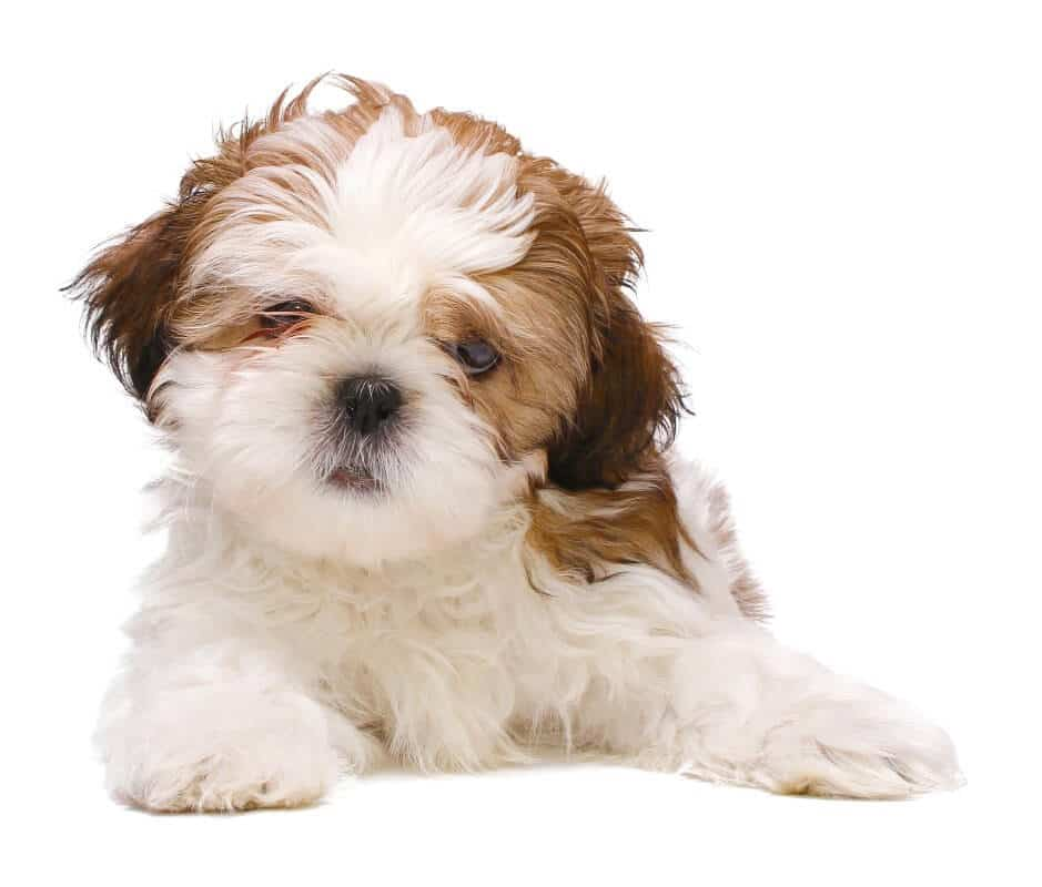 Top 10 Facts About Shichon Mix