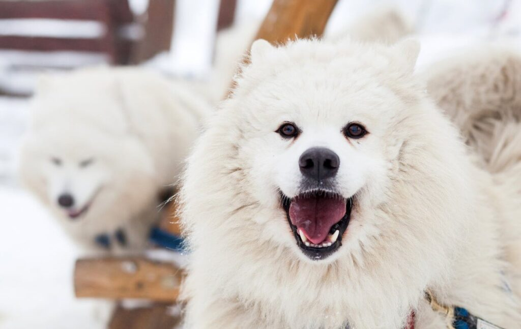 Top 10 Facts About the Samoyed Breed