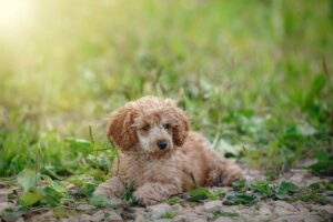 Top 10 Most Popular Toy Dog Breeds
