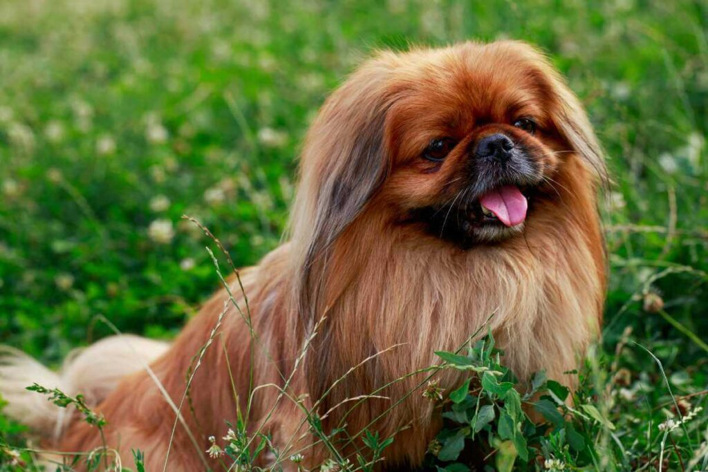 Your Best Pekingese Informational Guide