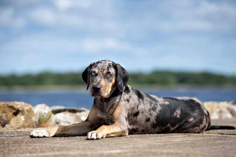 sitting catahoula leopard dog