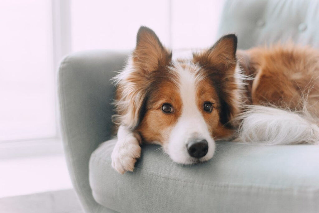 Protect Your Couches From Dog Hair (Along With Other Furniture)