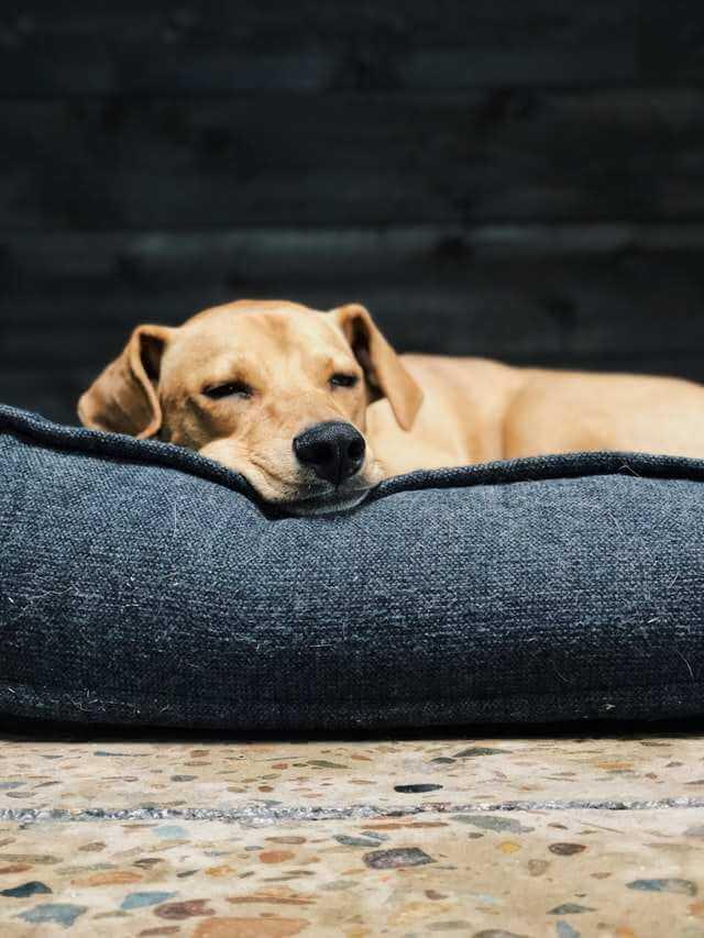 cute brown puppy sleeping in bed