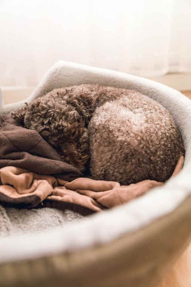 brown poodle puppy sleeping in bed