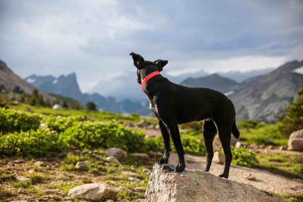 black dog looking at mountains