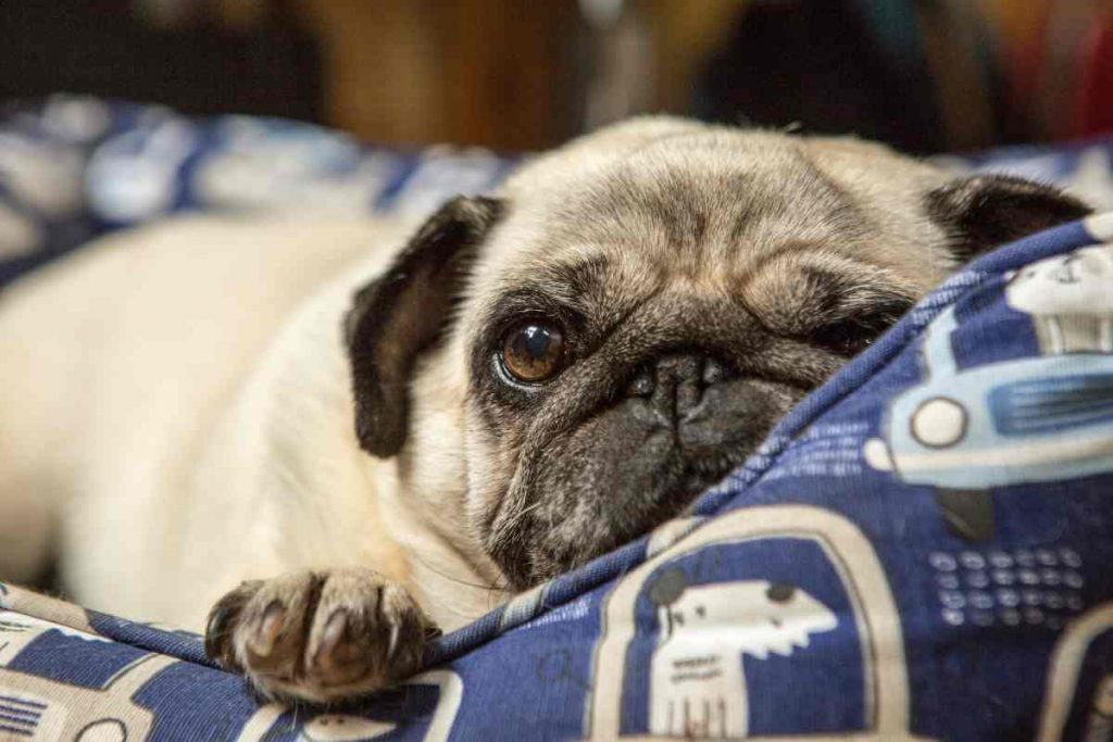 little pug dog in bed